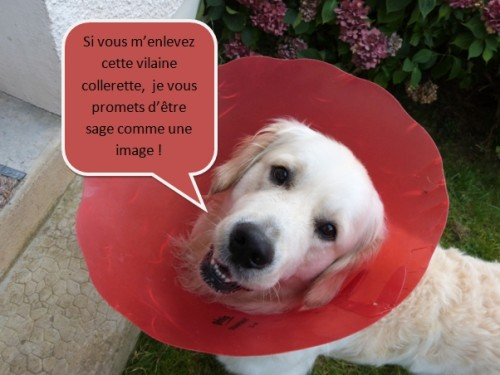 chien,golden retriever,dimanche,photo